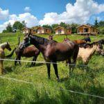 Konie na zielonej łące